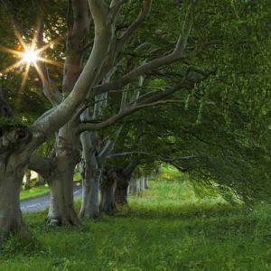 Beech TreesSM