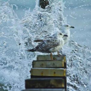 seagulls n water splashes in BournemouthSM